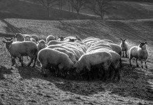 Le Mouton au Petit Dejeuner