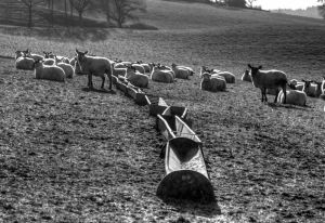Sheep and Troughs